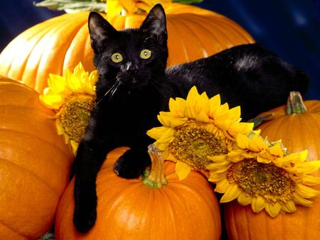 black-cat-on-pumpkins