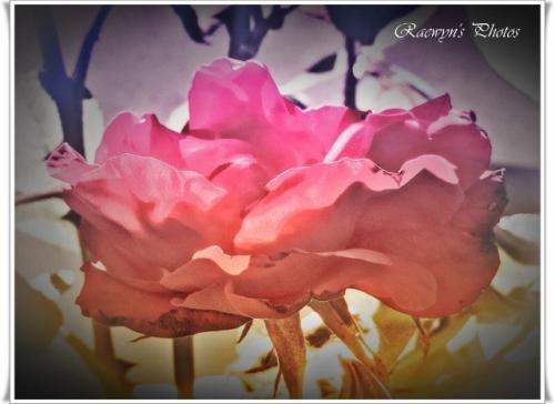 Delicate Rose (640x466)