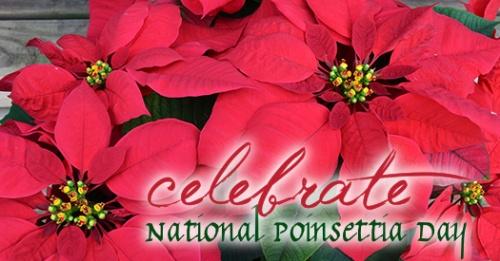 celebrate-national-poinsettia-day