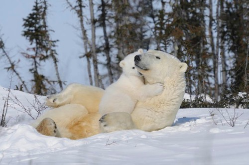 Polar Bear (Ursus maritimus) mother with her cub.