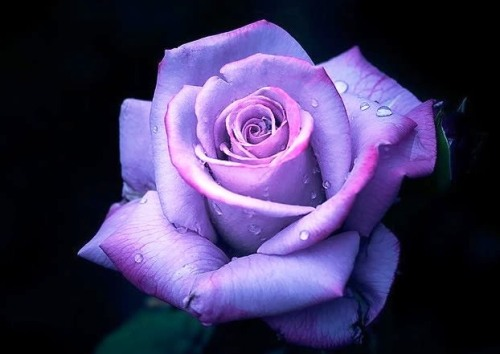 blue-roses-for-valentines-day