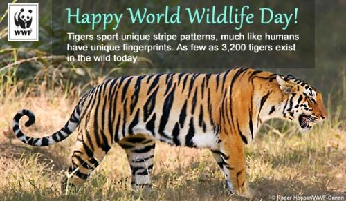 worldwildlife_tigers