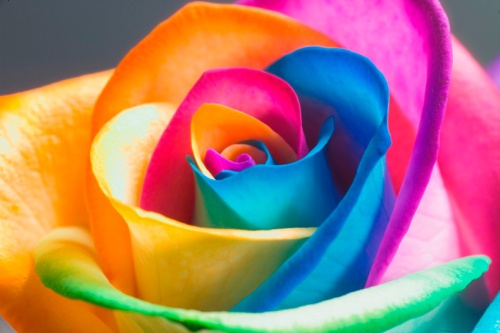 images-of-rainbow-roses-1