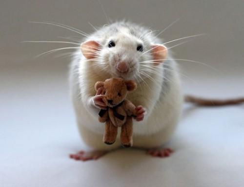 Rats-with-Teddy-Bears-14-600x461