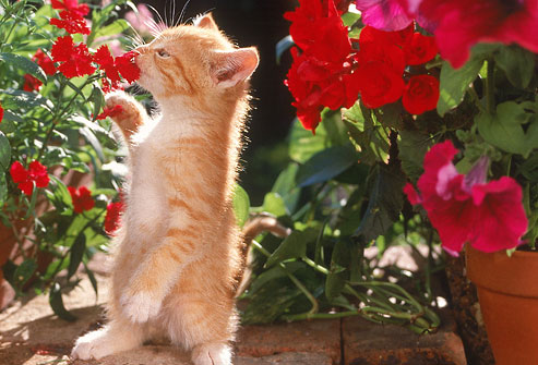 getty_rm_photo_of_kitten_sniffing_potted_flowers