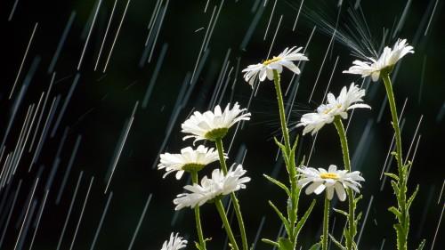 rain-white-flowers-_440015-31
