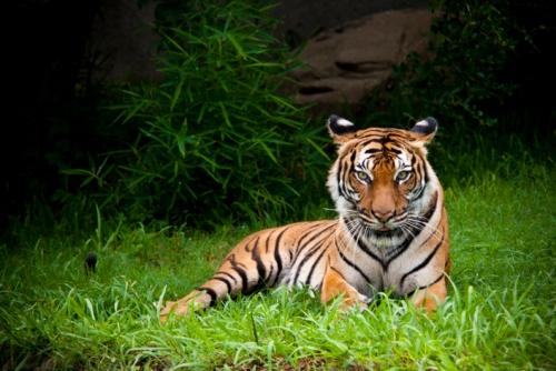 houston-zoo-tiger-3526