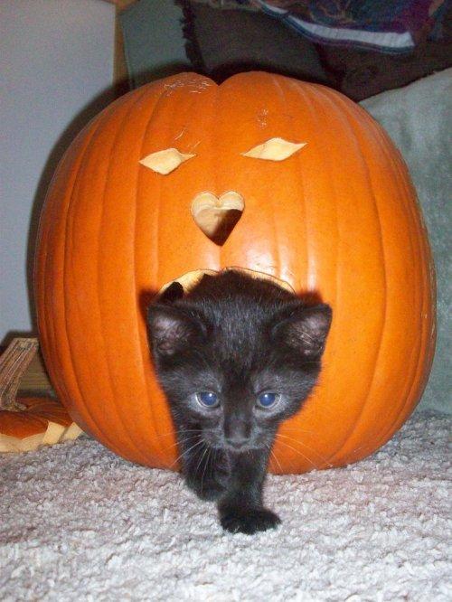 Cute-Cats-Pumpkins