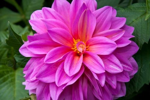 Pink-Dahlia