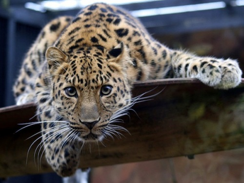 Amur_Leopard_in_the_Colchester_Zoo
