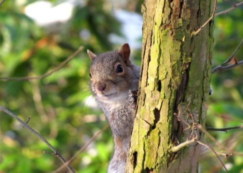 3427699-squirrel-playing-hide-and-seek-1